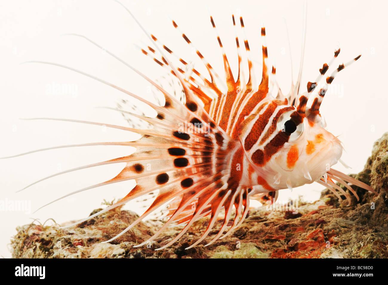 Spotfin pez león pez de arrecife marino tropical Imagen De Stock