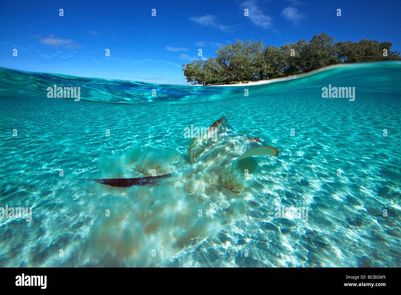 Stingray en Heron Island Gran Barrera de Coral de Australia Foto de stock