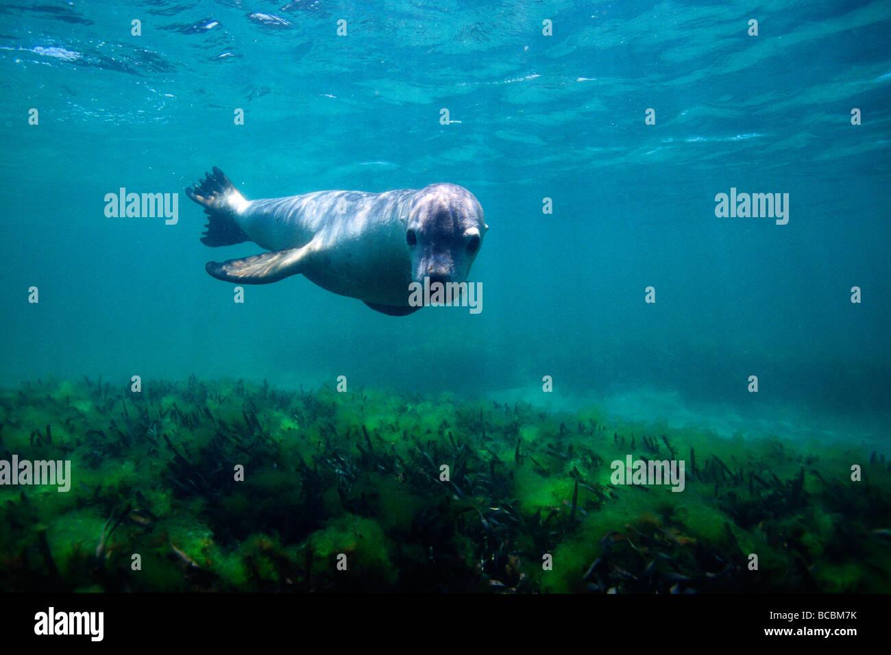 Lobo de mar nadar Imagen De Stock