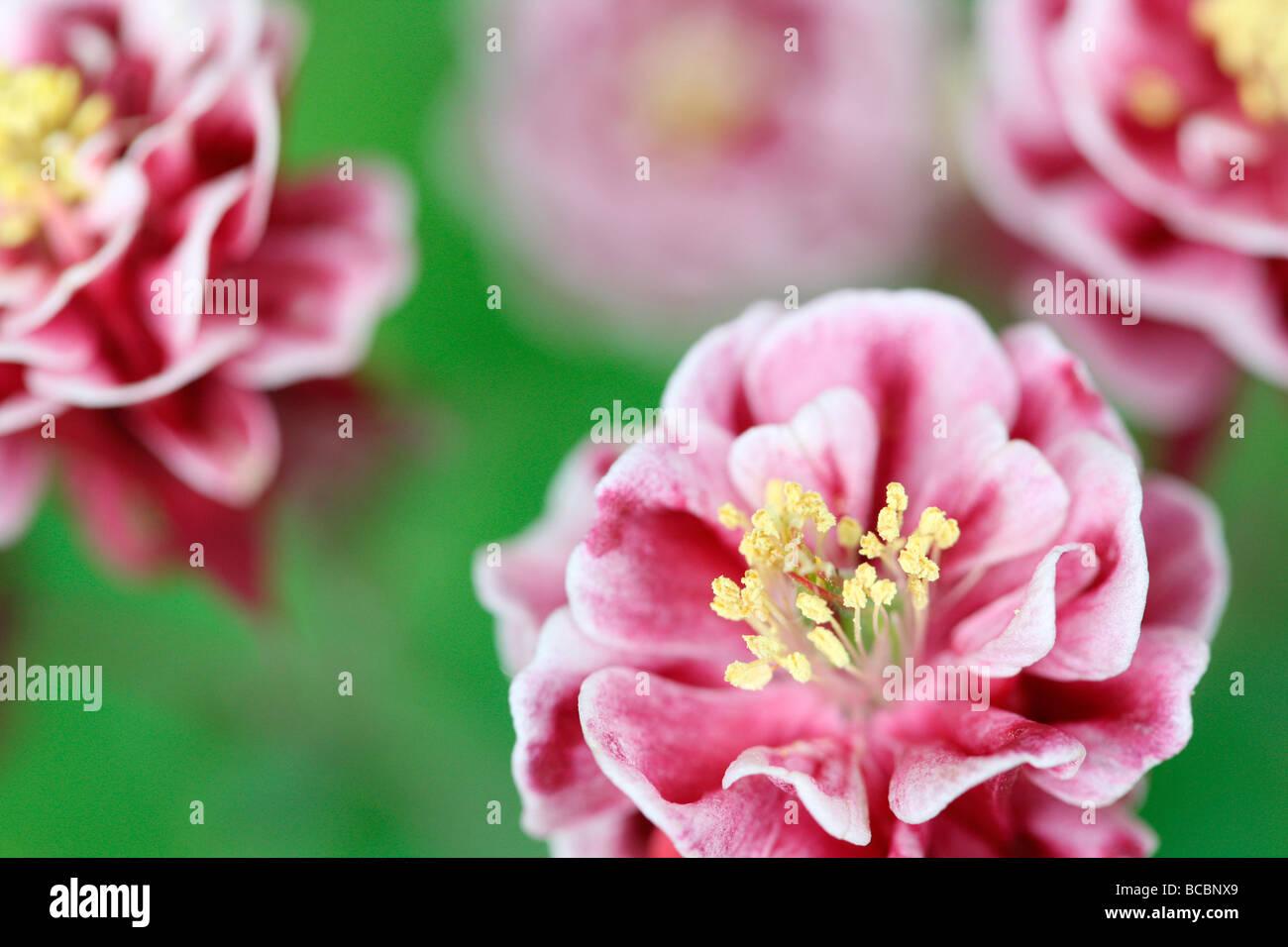 Hermoso color rojo y blanco doble aquilegia fotografía artística Jane Ann Butler Fotografía JABP486 Imagen De Stock