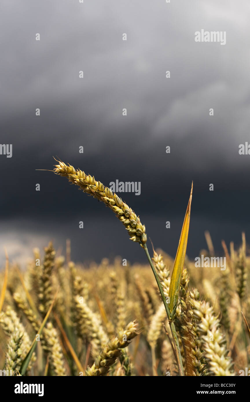 Campo de trigo contra un cielo tormentoso en la campiña inglesa Imagen De Stock