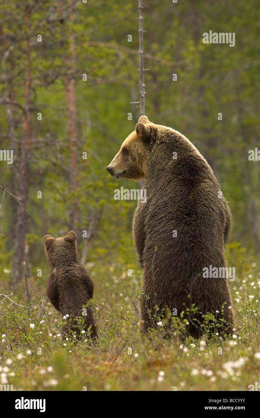 Oso pardo europeo (Ursos arctos) hembra y cachorro en el borde de un bosque boreal en la noche la luz. Finlandia. Imagen De Stock