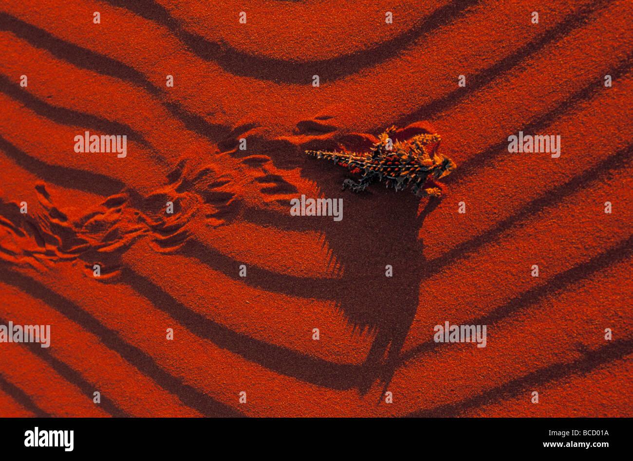 Diablo espinoso lagartija (Moloch horridus) cruzando la arena ondulada roja Imagen De Stock