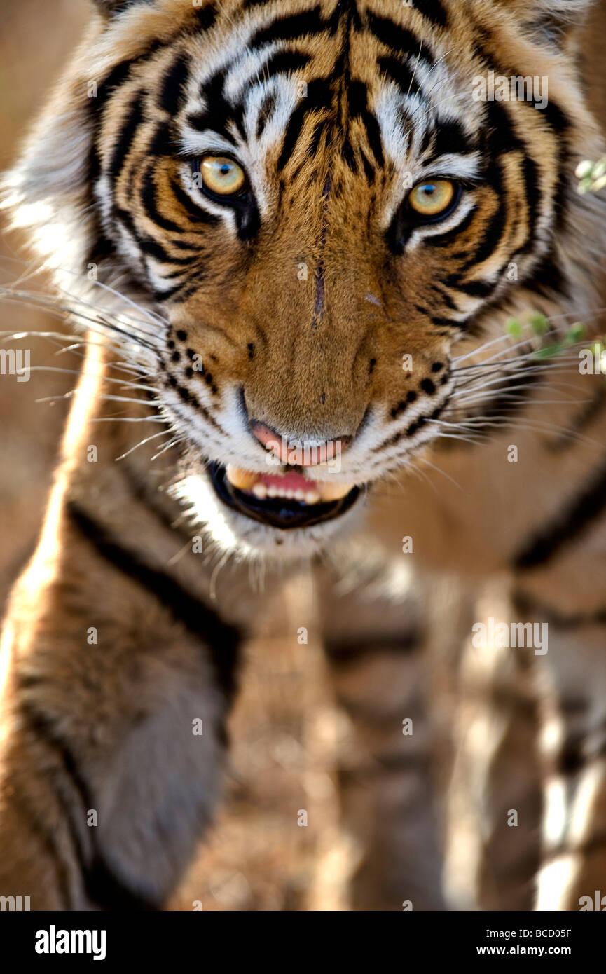 Tigre de Bengala (Panthera tigris tigris) al acecho. Ranthambore. La India Imagen De Stock
