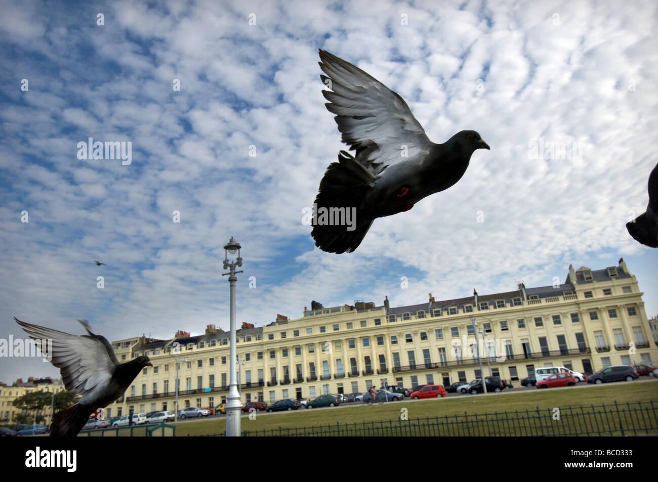 Palomas en vuelo a lo largo de Hove césped promenade en frente del Regency Brunswick terraza en la ciudad de Imagen De Stock