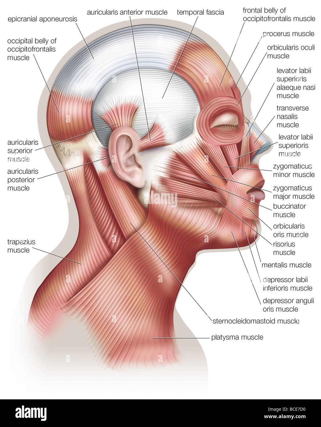 Los músculos de la cabeza humana, usado en la expresión facial Foto ...