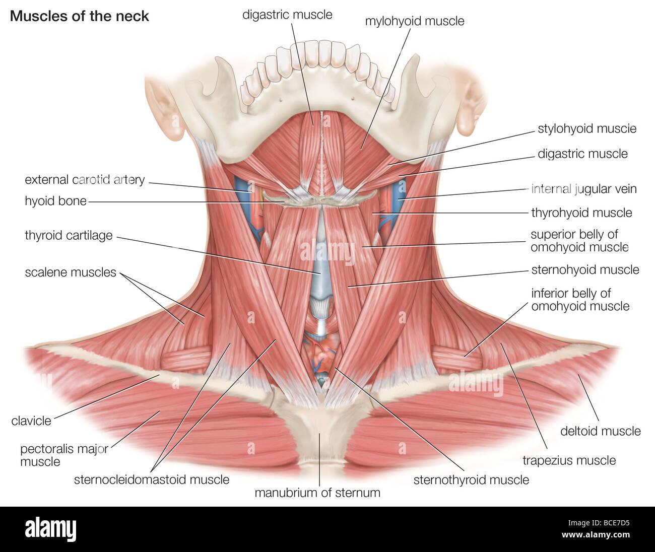Los músculos del cuello humano, así como los principales huesos y ...