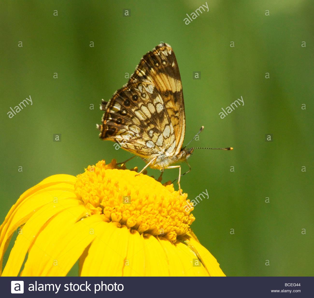 Plateado Chlosyne nycteis Checkerspot Butterfly Nymphalidae Subfamilia Nymphalinae Foto de stock