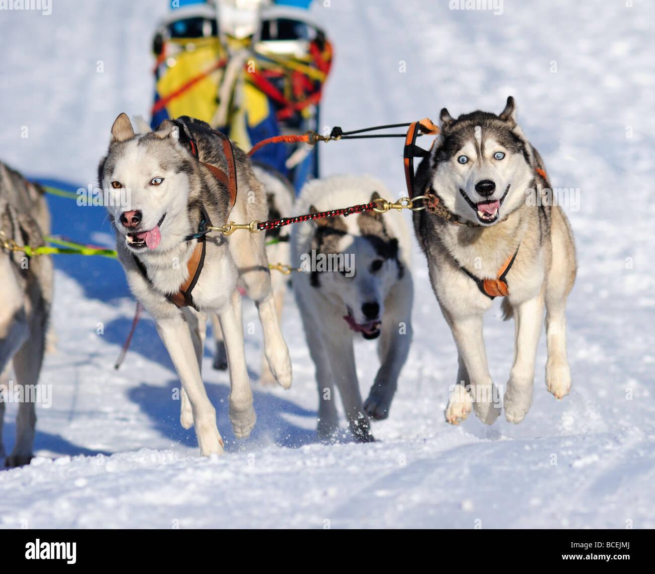 Detalles de un equipo de perros de trineo en plena acción dirigiéndose hacia la cámara Foto de stock