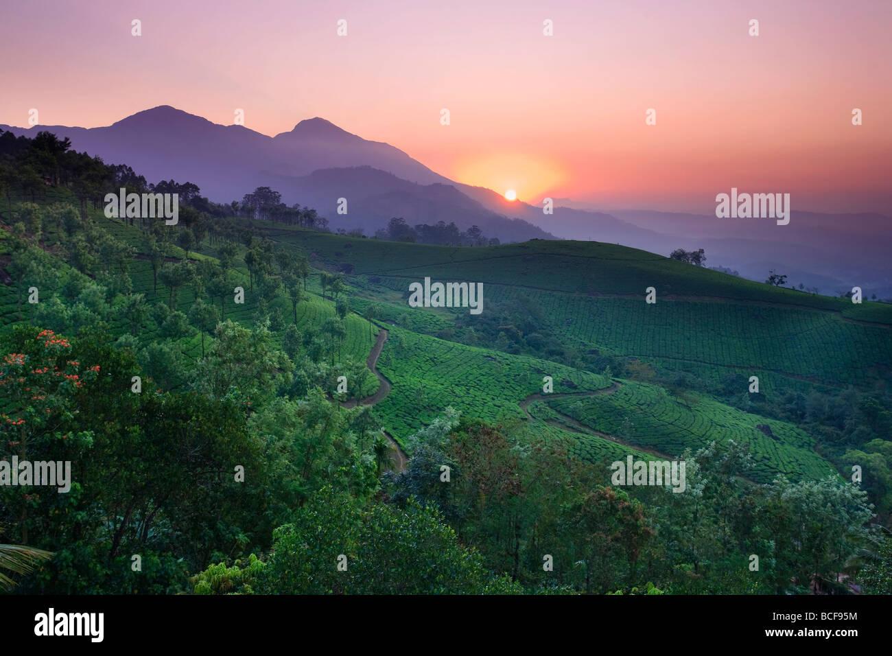 Las plantaciones de té, Munnar, Western Ghats, Kerala, India Imagen De Stock