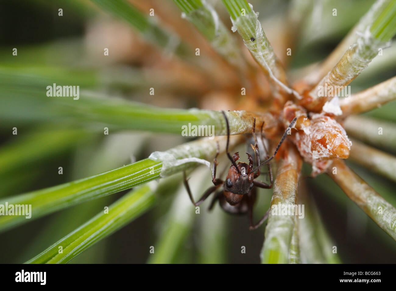 Caballo hormiga (Formica rufa) sobre una ramita de pino. El trabajador está defendiendo un pulgón que puede verse por debajo de ella. Foto de stock