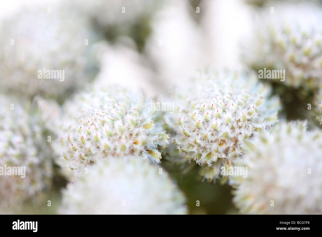 Hermosa imagen de fotograma completo Brunia cabezas de flores fotografía artística Jane Ann Butler Fotografía JABP425 Foto de stock