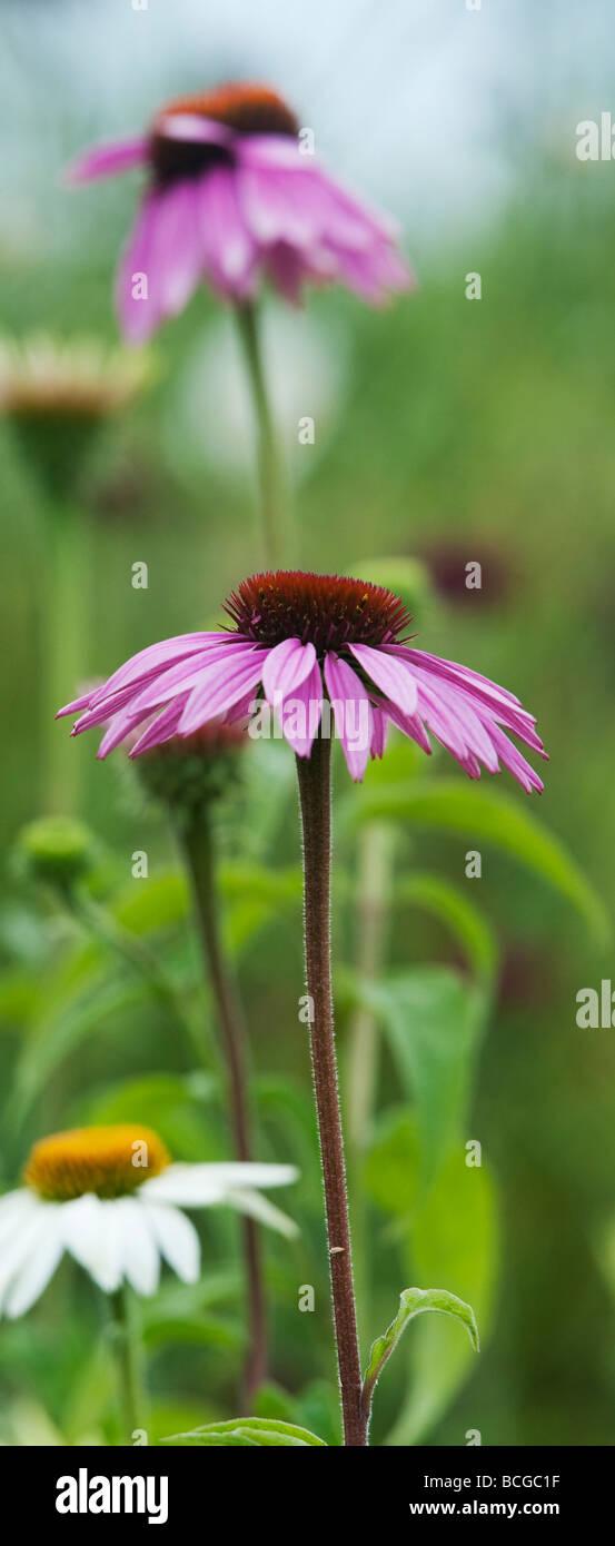 Echinacea purpurea 'magnus'. Coneflower 'Magnus' Imagen De Stock