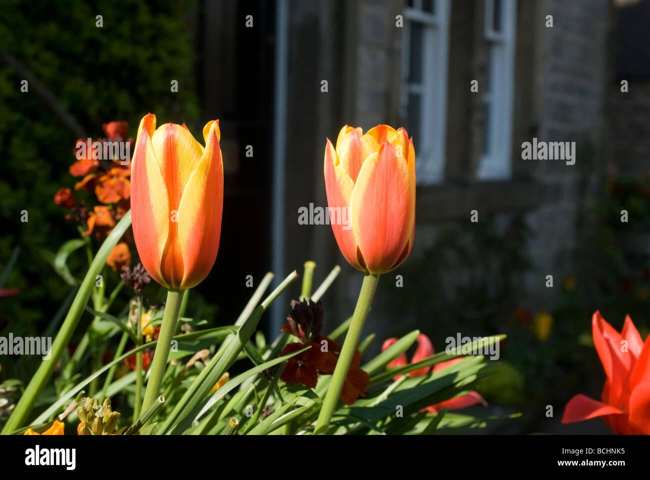 Tulipanes de rayas rojas y amarillas en la primavera Imagen De Stock
