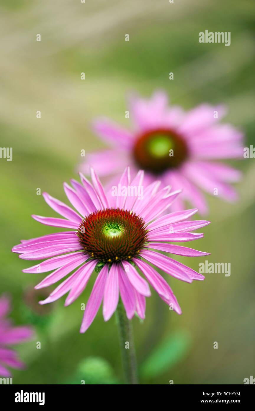 "Echinacea purpurea 'Rubinglow'. ""Rubinglow coneflower púrpura' Imagen De Stock"