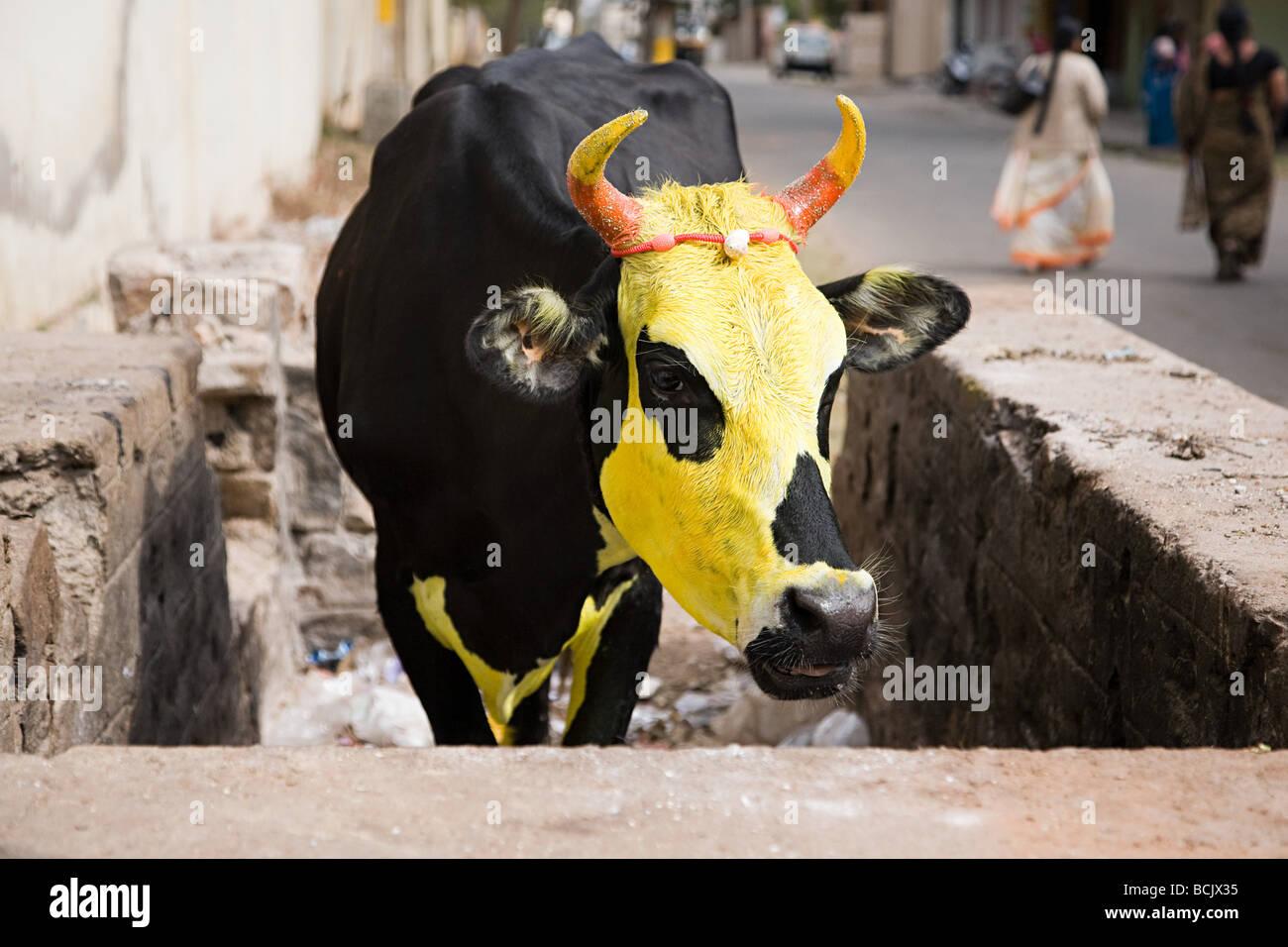 Vaca pintada de amarillo para el festival de pongal Imagen De Stock