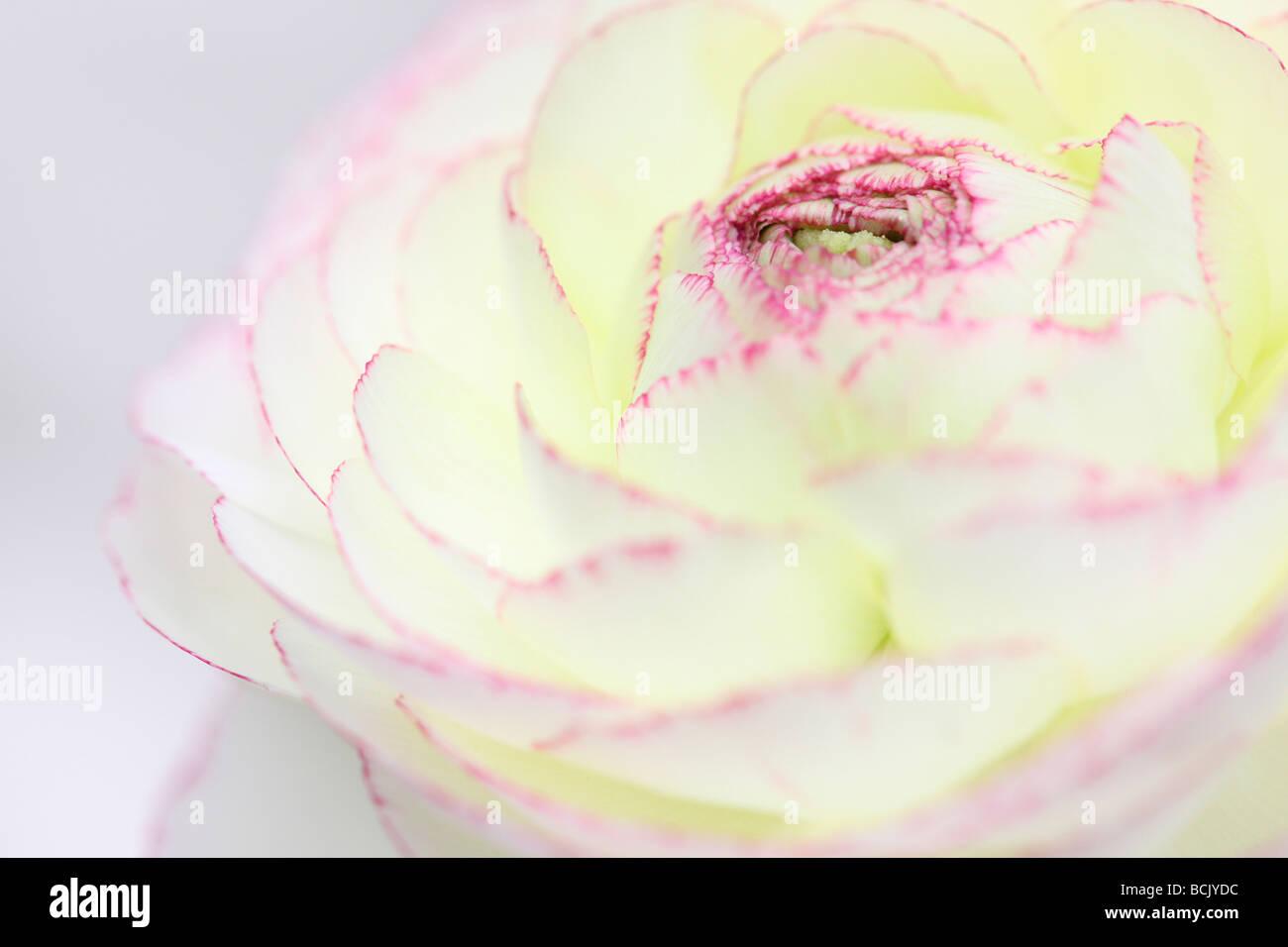 Hermoso blanco ranunculus con pétalos de rosa oscuro con punta de Jane Ann Butler Fotografía JABP394 Imagen De Stock