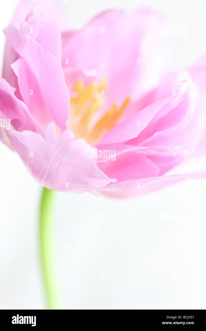 Perfección tulip retrato freeflowing lila y etérea fotografía artística Jane Ann Butler Fotografía JABP390 Foto de stock