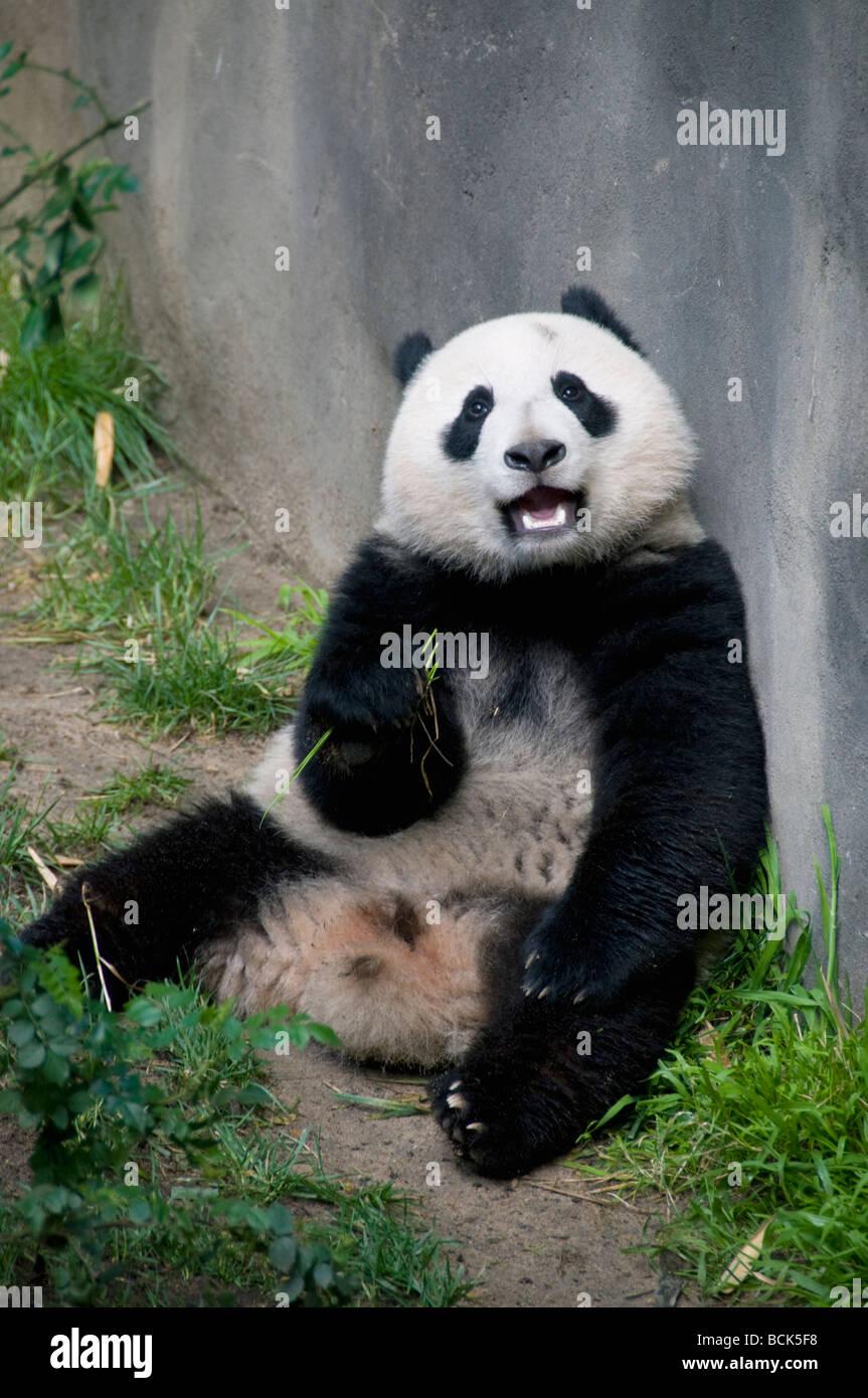 El panda gigante (Ailuropoda melanoleuca) San Diego Zoo Imagen De Stock