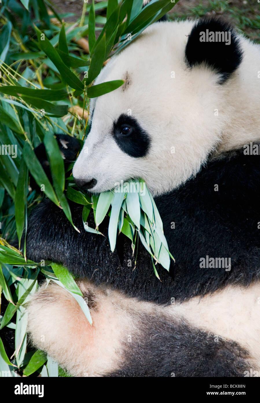 El panda gigante (Ailuropoda melanoleuca) alimentación, Zoológico de San Diego Imagen De Stock