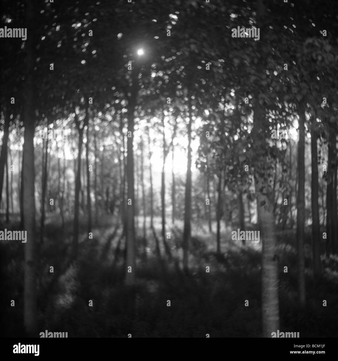La luz del sol brillando a través de bosques, en blanco y negro Foto de stock