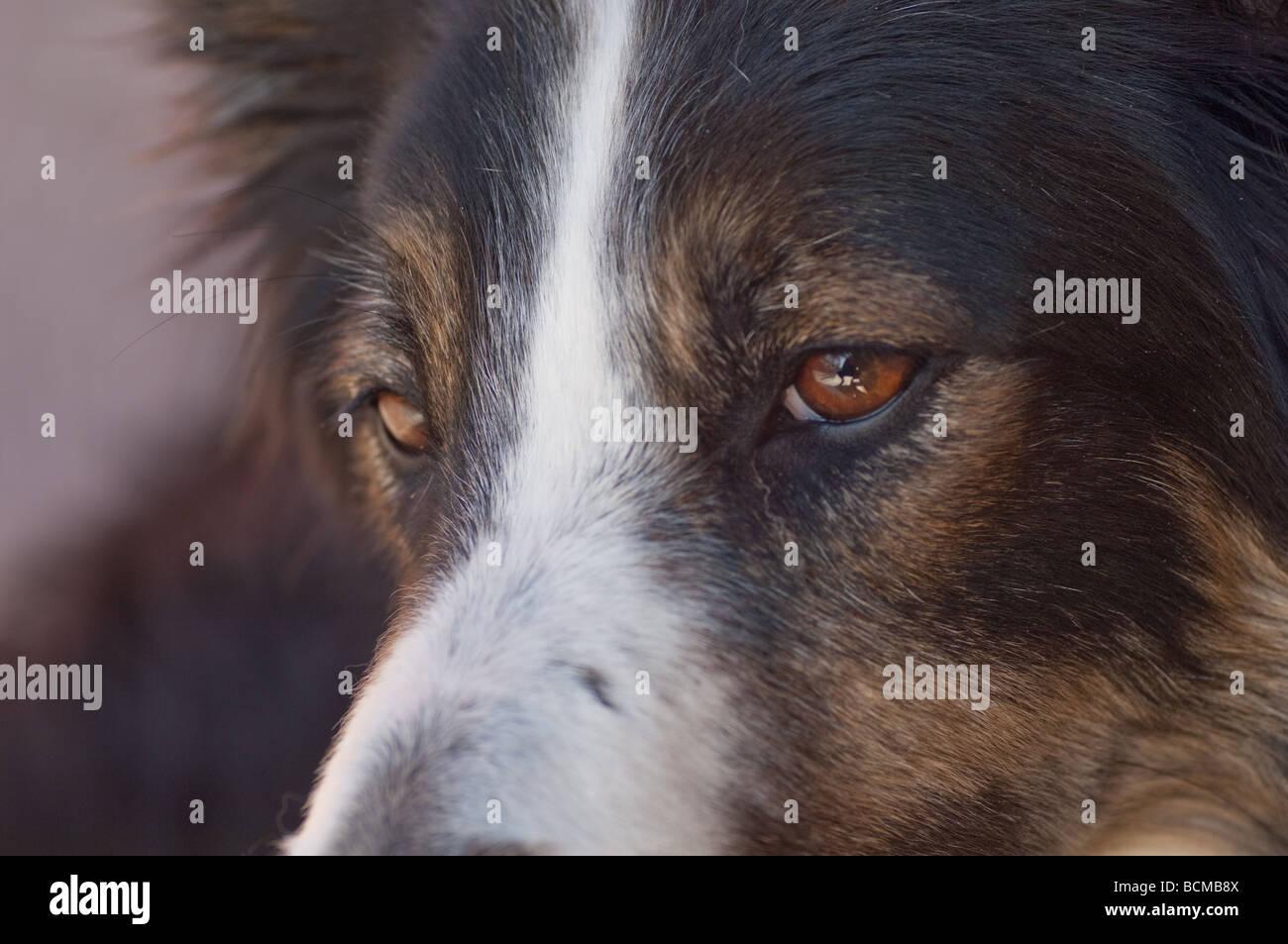 Cierre de un tri-color Border Collie con mirada seria en la cara. Este perro fue rescatado de un refugio para perros Imagen De Stock