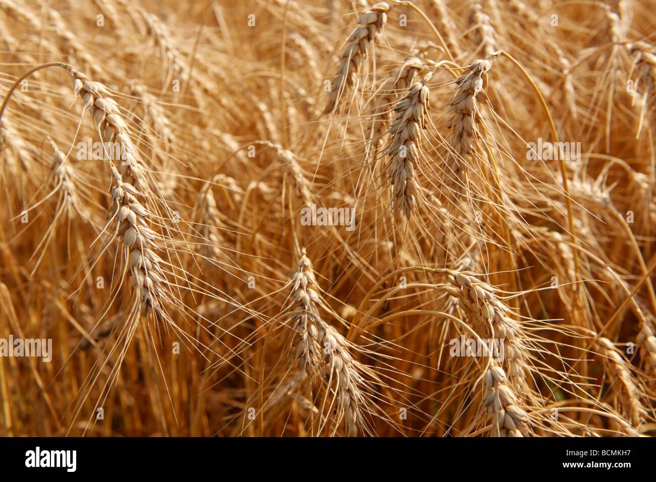 Cultivo de trigo en un campo Imagen De Stock