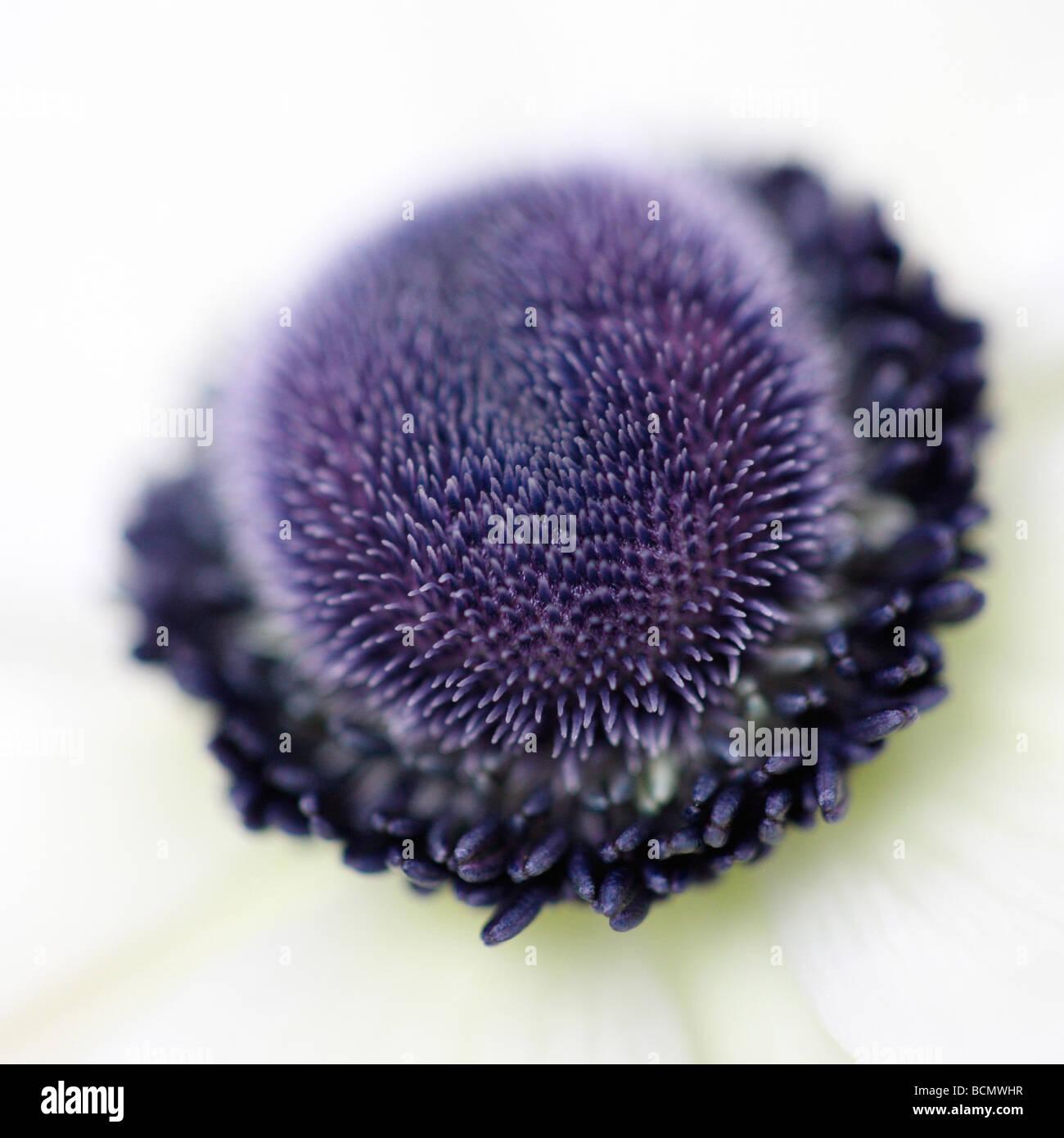 Disparo de un espectacular centro de anémona blanca Jane Ann Butler Fotografía JABP383 Imagen De Stock