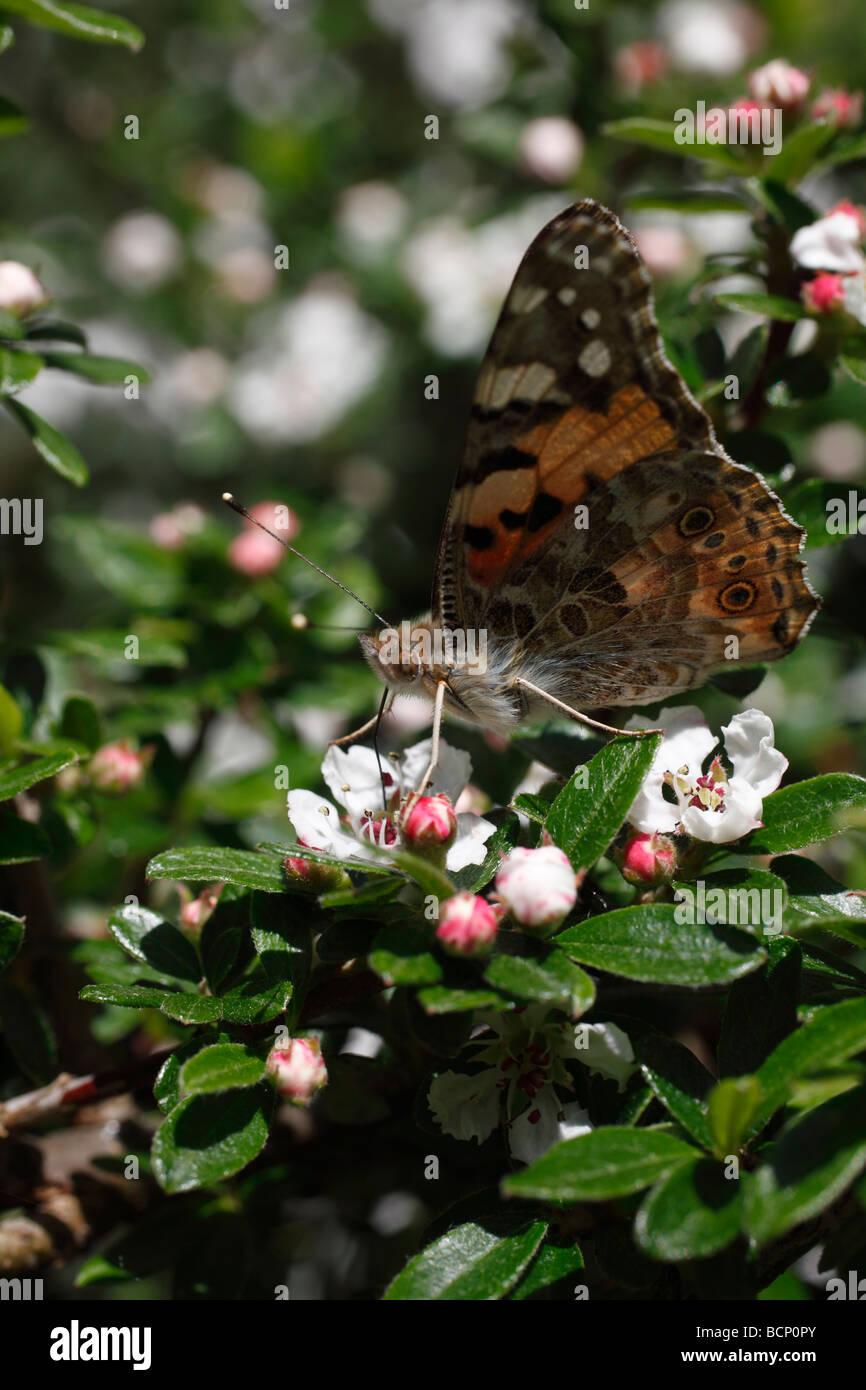 Painted Lady Vanessa atalanta tomando néctar de cotoneaster Foto de stock