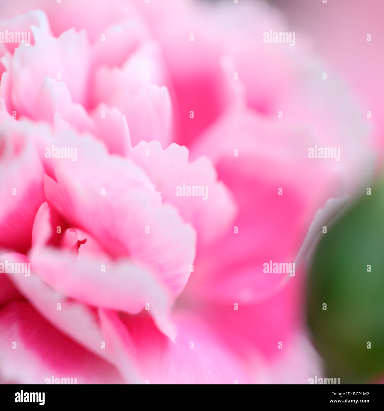 Imagen etérea de clavel y bud fotografía artística Jane Ann Butler Fotografía JABP377 Foto de stock