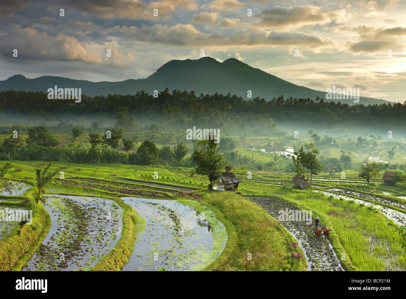 Ox impulsado en el arado de los campos de arroz en terrazas nr Tirtagangga al amanecer con el pico volcánico Imagen De Stock