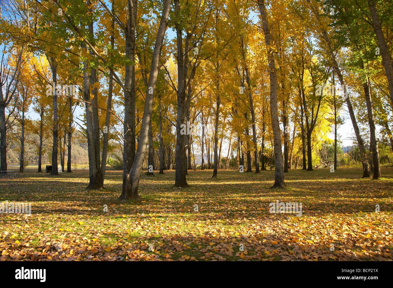 Árboles de otoño en rampa de varado zona de picnic por Khancoban Pondage Nevados Sur de Nueva Gales del Sur, Australia Foto de stock