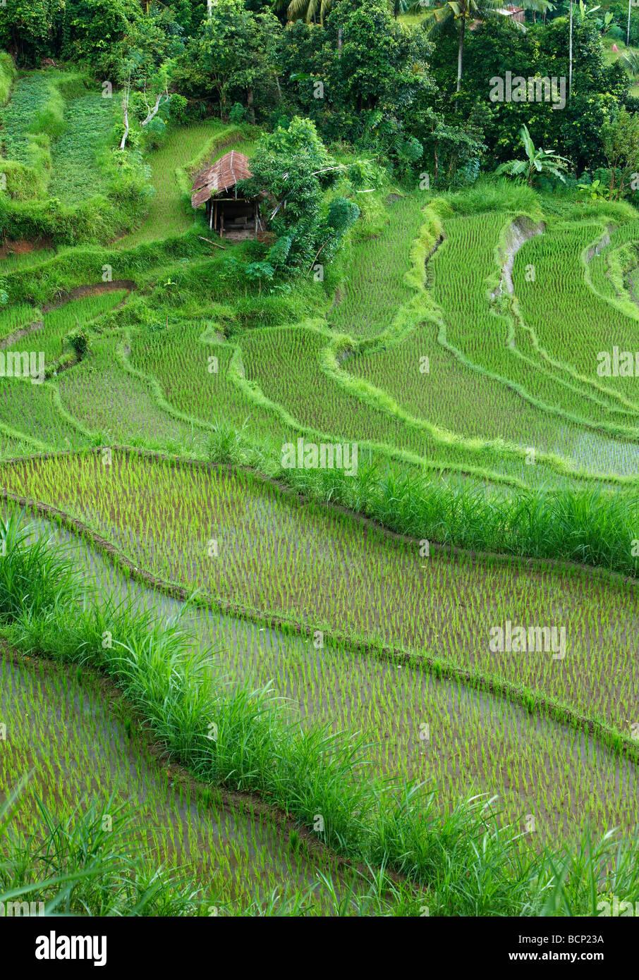 Los campos de arroz en terrazas, cerca de Tirtagangga, Bali, Indonesia Foto de stock