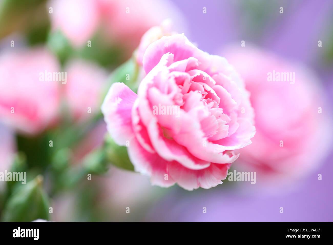 Claveles Rosas sobre un fondo de color malva fotografía artística Jane Ann Butler Fotografía JABP362 Imagen De Stock