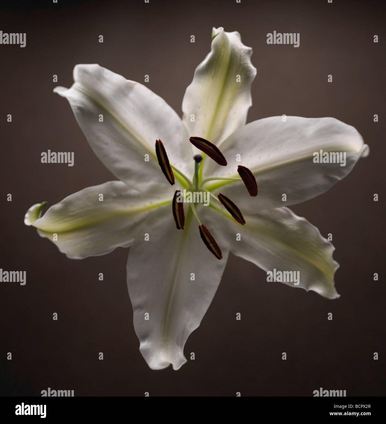 Lilium Lily - Lily Oriental Imagen De Stock
