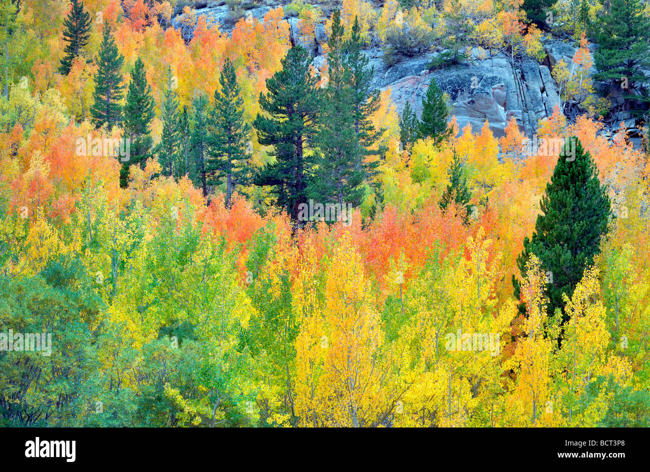 Bosque mixto de álamos en otoño colores y abetos Inyo National Forest, California Foto de stock