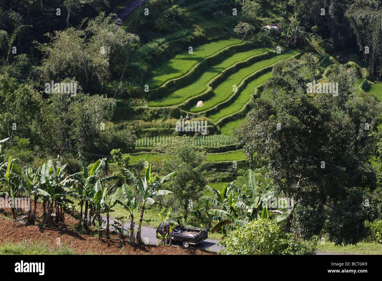 Los Arrozales Y Campos De Cultivo De Hortalizas En La