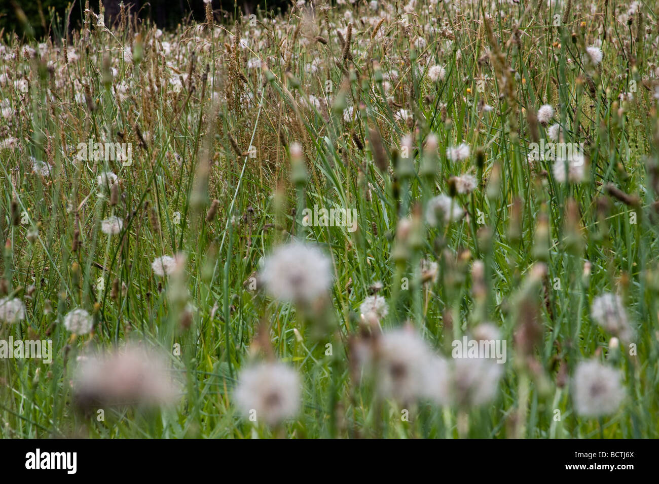 Un campo de diente de león quien una vez florecida ahora se sientan llenos de semillas, dispuestos a dar el Imagen De Stock