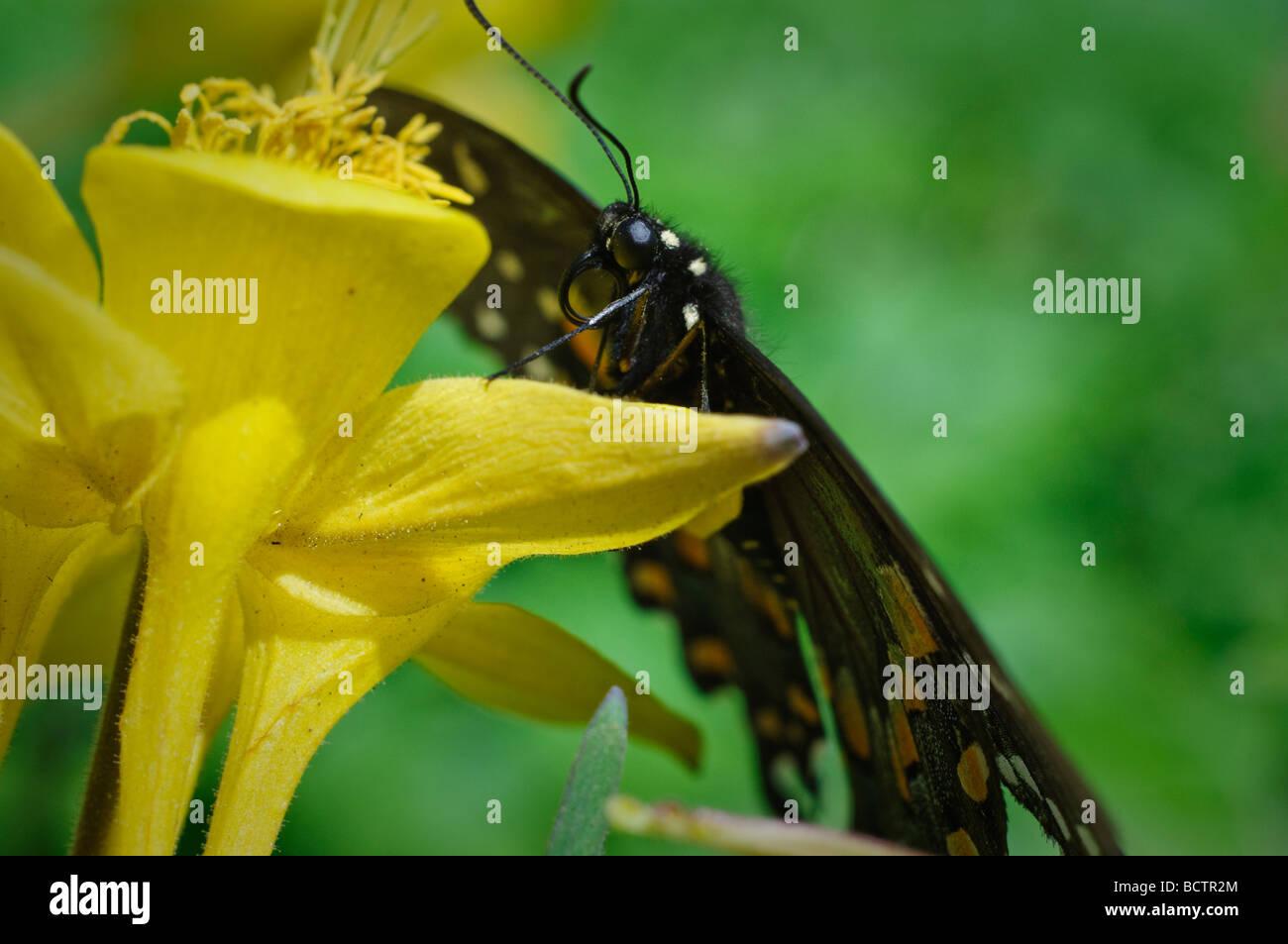 Especie Spicebush descansa sobre una mariposa amarilla flor columbine Foto de stock