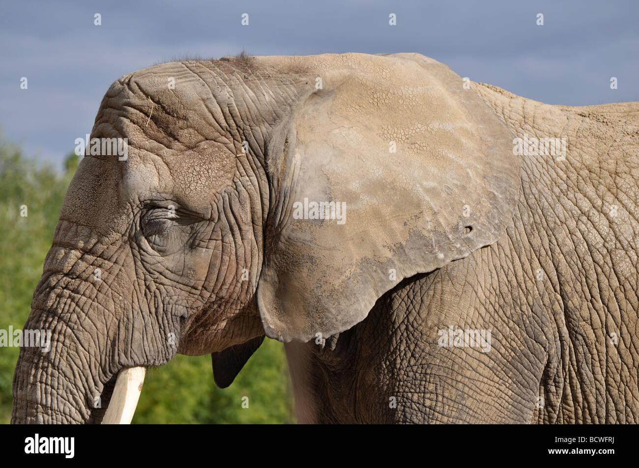 Elefante africano Imagen De Stock
