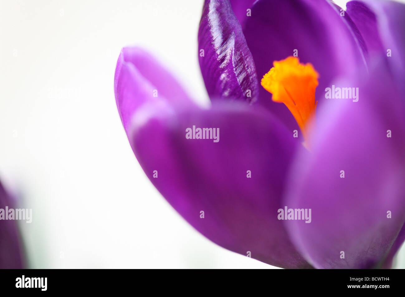 Hermosa primavera crocus fotografía artística Jane Ann Butler Fotografía JABP337 Imagen De Stock