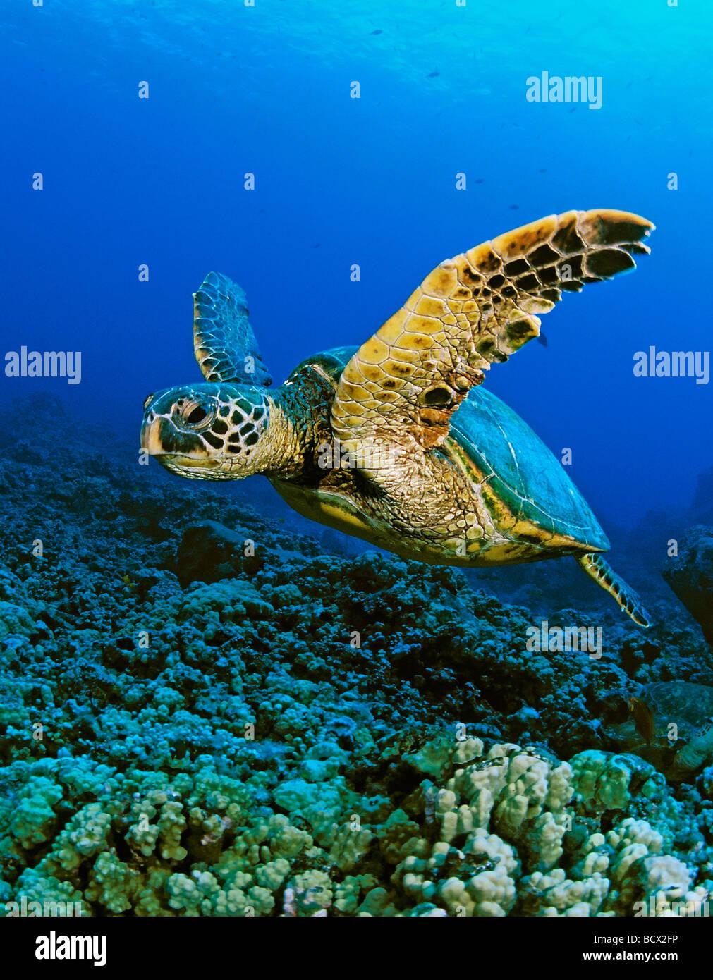 Tortugas marinas verdes, Chelonia mydas, Hawaii, EEUU, en Kona, Isla Grande, Océano Pacífico Imagen De Stock