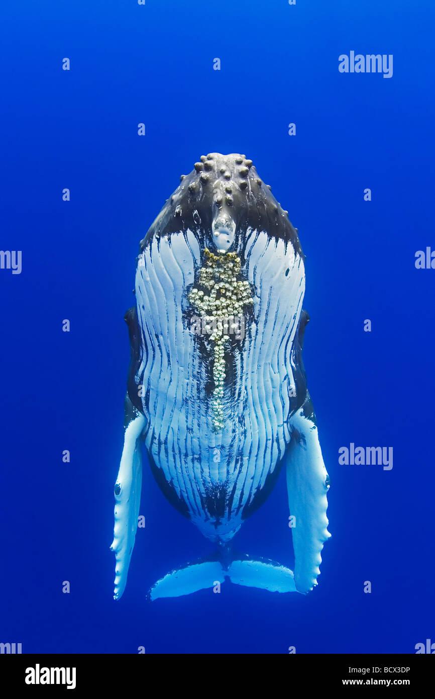 Ballena Jorobada con bellota parasitaria percebes adjunta Megaptera novaeangliae Cornula diaderma Océano Pacífico Hawai EE.UU. Foto de stock