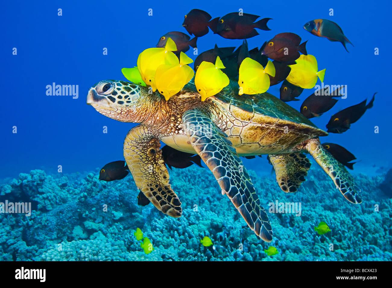 Tortuga verde Chelonia mydas Surgeonfishes limpiadas por la costa de Kona de la Isla Grande de Hawaii Océano Imagen De Stock