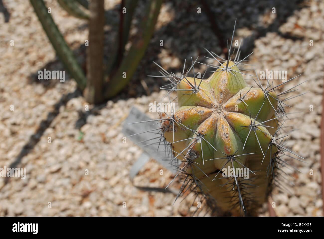 Myrtillocactus geometrizans Cactus Arándano arándano o cactus vela azul Foto de stock