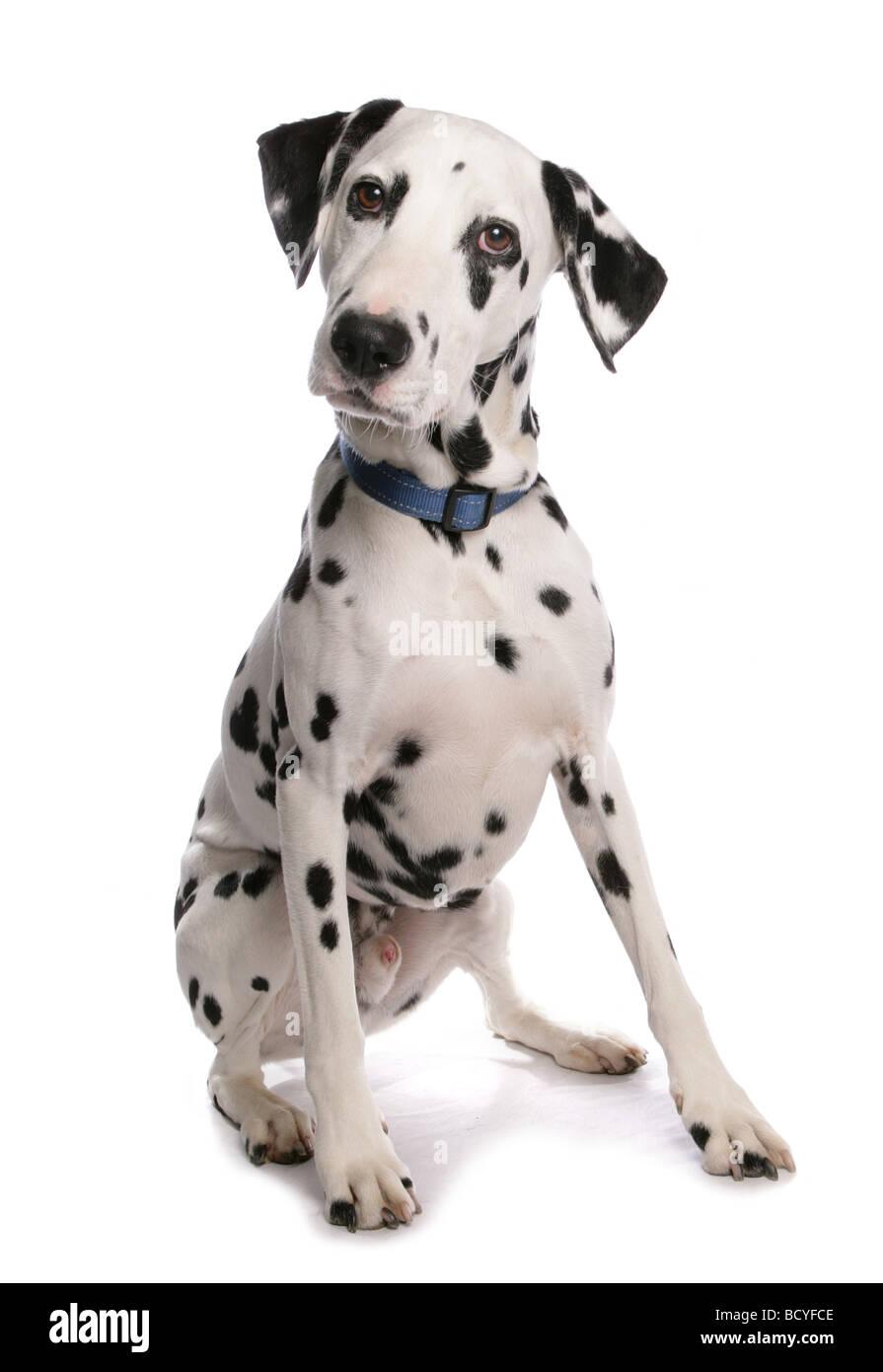 Perro dálmata - sentado - Cortar Imagen De Stock