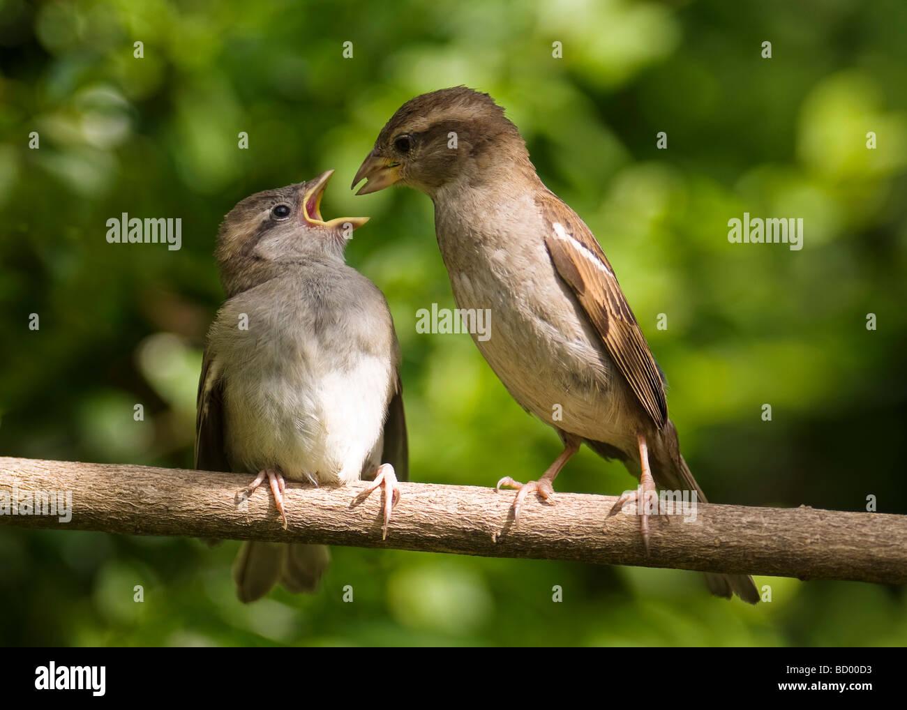 Joven gorrión Passer domesticus siendo alimentados por el padre pájaro en una rama. Foto de stock