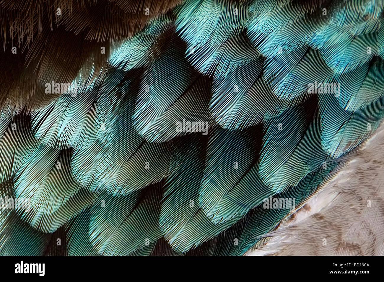 Blue-winged Kookaburra plumas Dacelo leachii Imagen De Stock