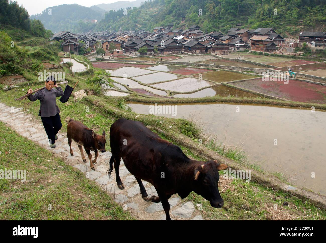 Mujer Y Vacas Volviendo A Casa Con Terrazas De Arroz Y