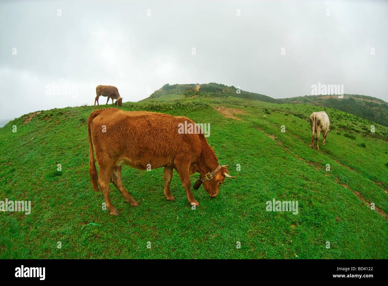 Brown vacas en Praia Boca do Rio en costa de Algarve en Portugal Imagen De Stock